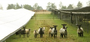 Ovce plemeno Suffolk