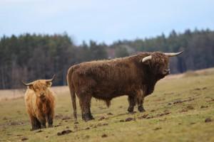 plemenný býk Highland  - narozen 2010
